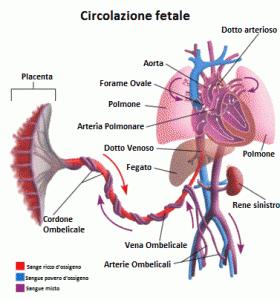 Illustrazione della circolazione sanguigna fetale: scambio di gas tra feto e mamma