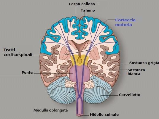 tratto-corticospinale