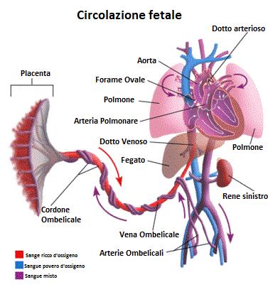 Circolazione-fetale
