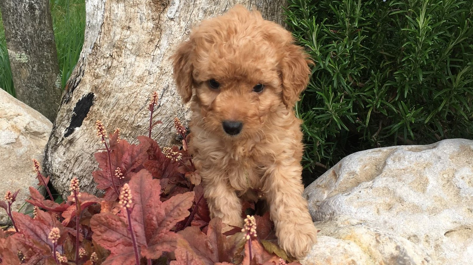 Cockapoo puppy on a wall