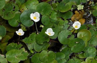 PLM Finds New Invasive Spieces: European Frog-Bit
