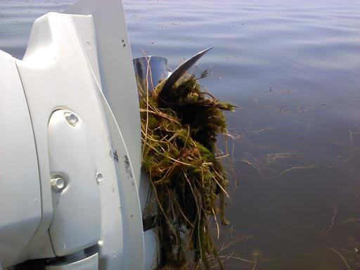 Simulating an Invasion! Scientists take a look at overland transport of Eurasian watermilfoil