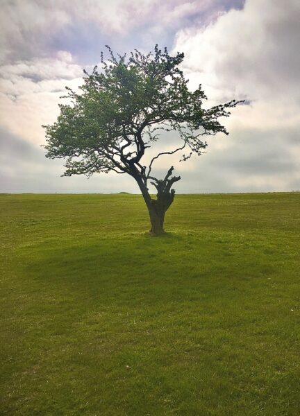isolated tree in a field in Sussex