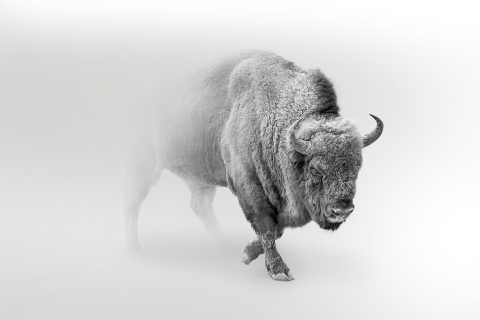 The buffalo faces it's storms