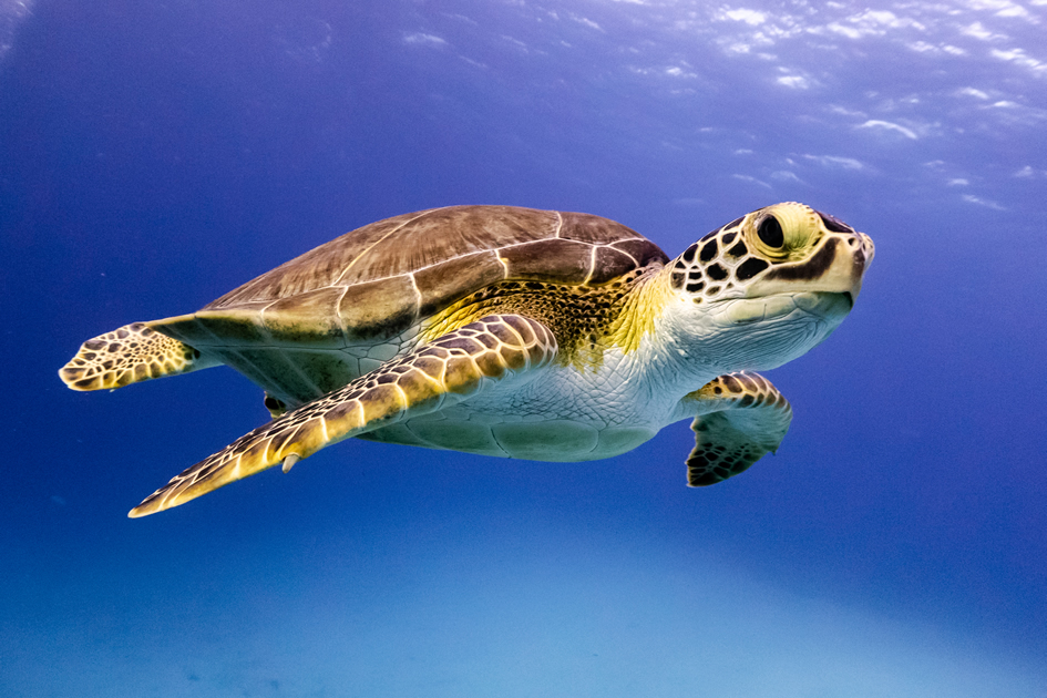 Can You Save a Turtle?