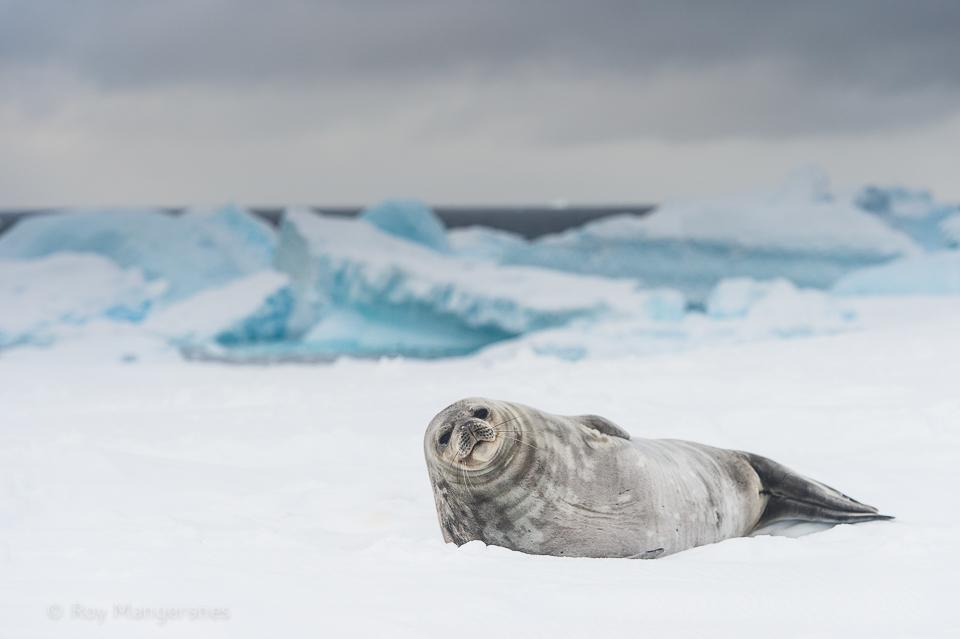 Weddell seal resting on Astrolab Island - D4s, 70-200mm, 1/1600 sec, f/4,5 @ ISO 500