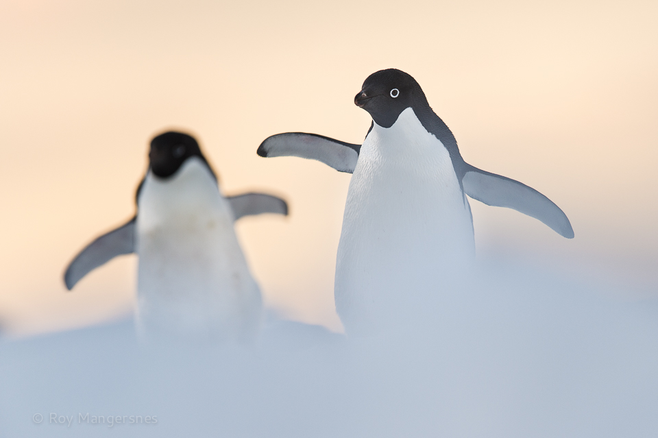 Adelie penguins taking a walk in the evening sun - D4s, 400mm, 1/800 sec, f/4 @ ISO 400