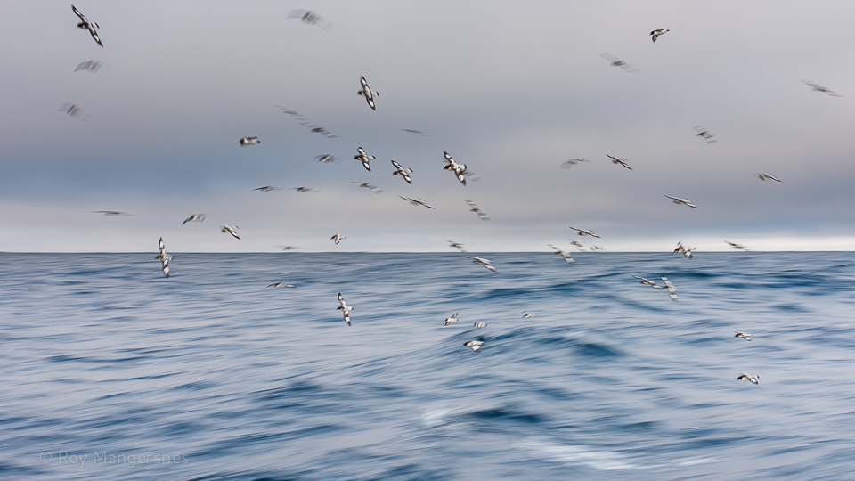 Cape petrels following the MS Polar Pioneer across the Drake - D810, 70-200mm, 1/25 sec, f/9 @ ISO 100