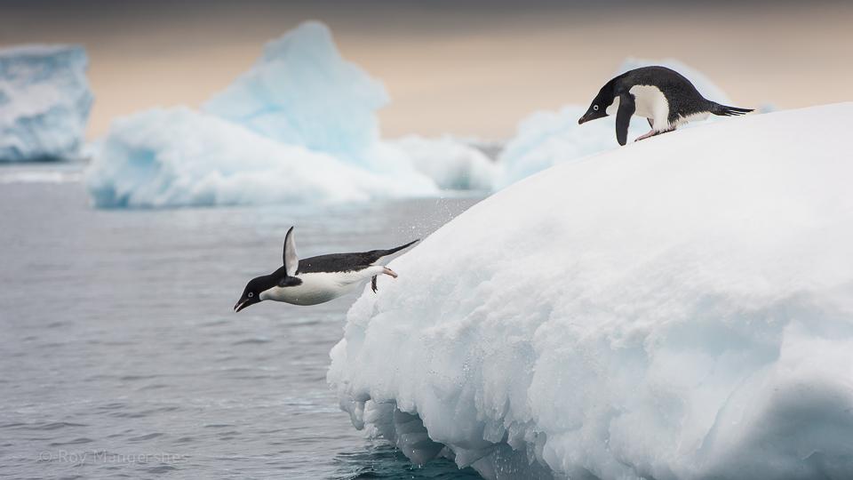 Adelie penguins playing on an iceberg - D810, 70-200mm, 1/640 sec, f/8 @ ISO 400