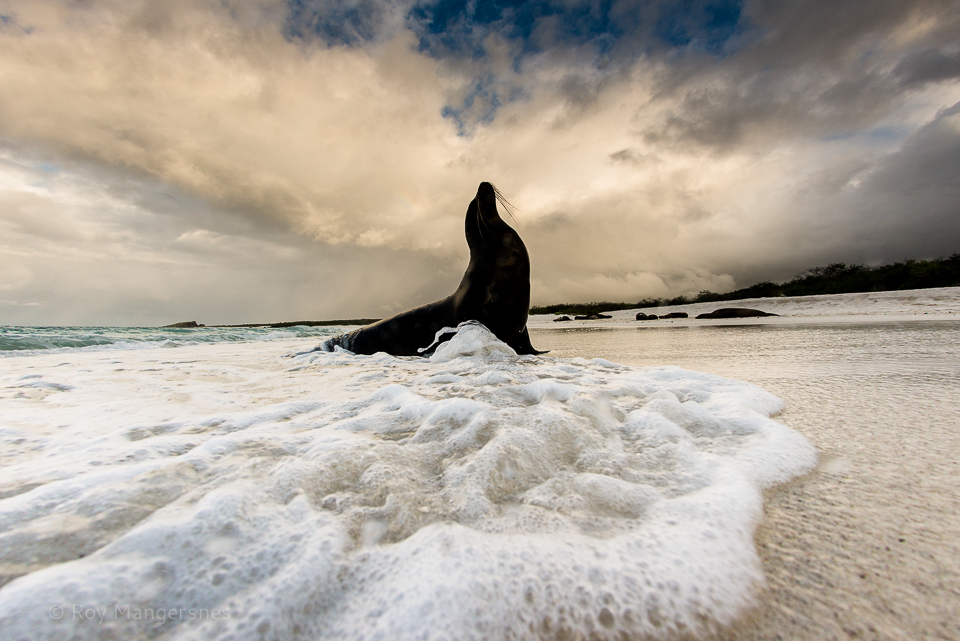 Galapagos sea lion on the beach at sunset - D800, 16mm fisheye, 1/500 sec, f/8 @ ISO 100