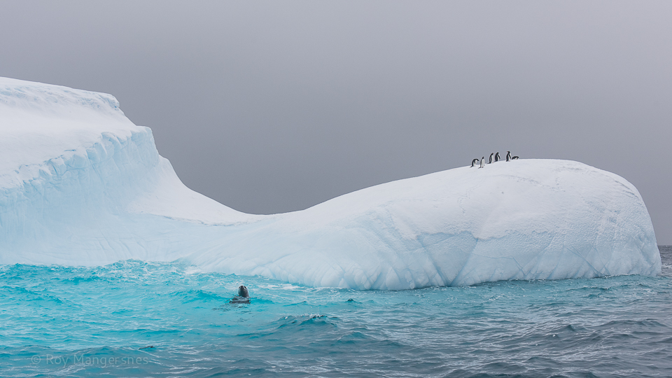 Leopard seal stalking penguins on an iceberg - D810, 24-70mm, 1/800 sec, f/7,1 @ ISO 500