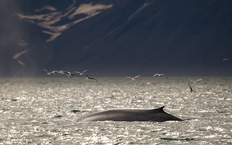 Blue whale in Woodfjorden - D4, 800mm, 1/3200 sec, f/7,1 @ ISO 500