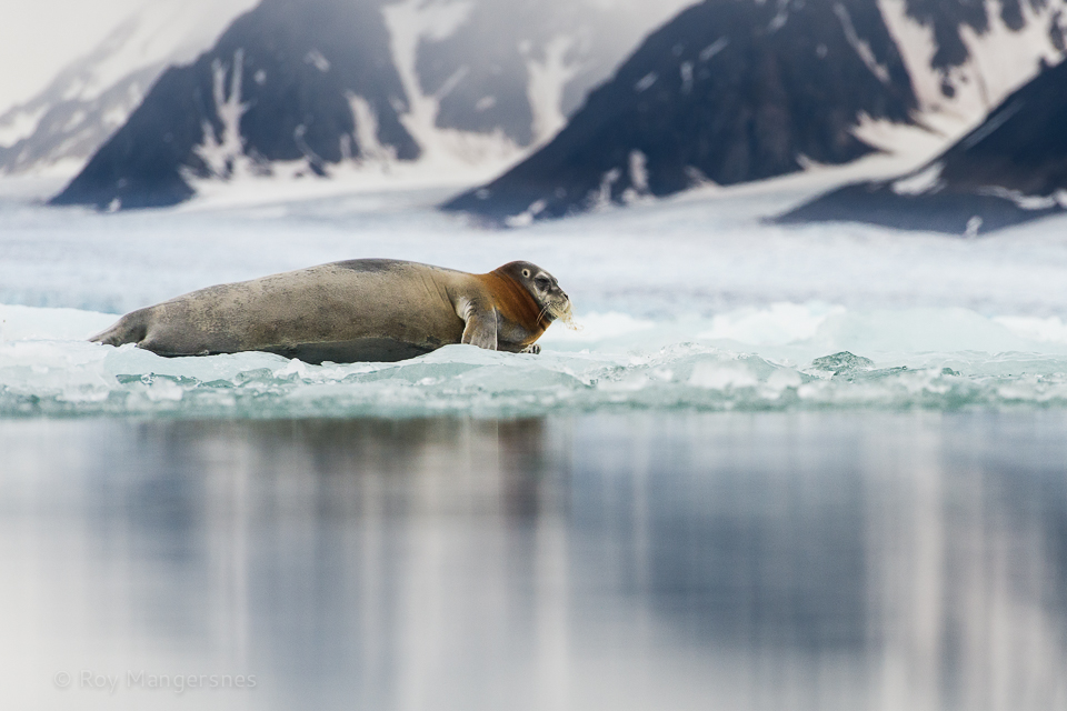Bearded seal in front of the Monaco glacier - D4, 70-200mm, 1/1250 sec, f/6,3 @ ISO 1600