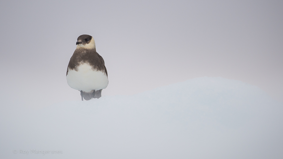 Arctic skua on ice - D4, 800mm, 1/1250 sec, f/5,6 @ ISO 1000