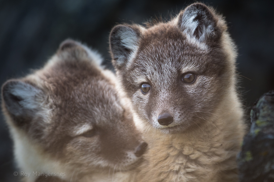 Arctic fox cubs - D4, 800mm, 1/1250 sec, f/6,3 @ ISO 1250