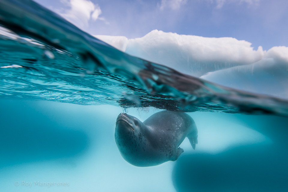 Leopard seal under an iceberg - D810, 16-35mm, 1/400 sec, f/8 @ ISO 160