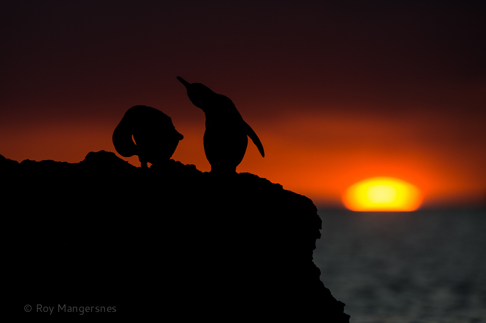 Galapagos penguins at sunset - D4, 400mm, 1/1250 sec, f/4,5 @ ISO 320
