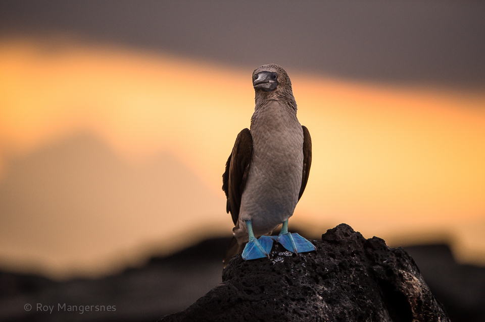 Blue-footed Booby at sunset - D4, 400mm, 1/1250 sec, f/2,8 @ ISO 1600