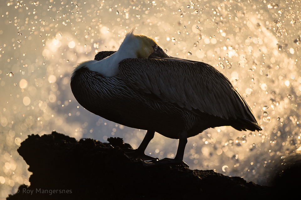 Brown pelican in golden surf at sunset - D4, 400mm, 1/2000 sec, f/3,5 @ ISO 640