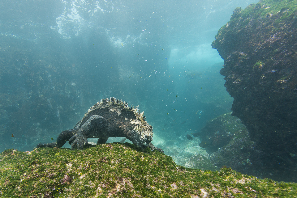 Marine iguana feeding under water - D800, 16mm fisheye, 1/160 sec, f/8 @ ISO 360