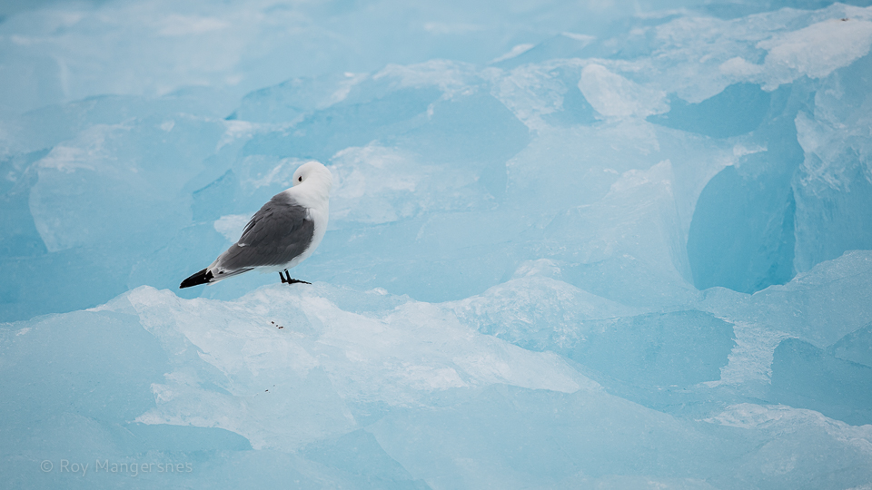 Kittiwake preening on blue ice in Lilliehöök