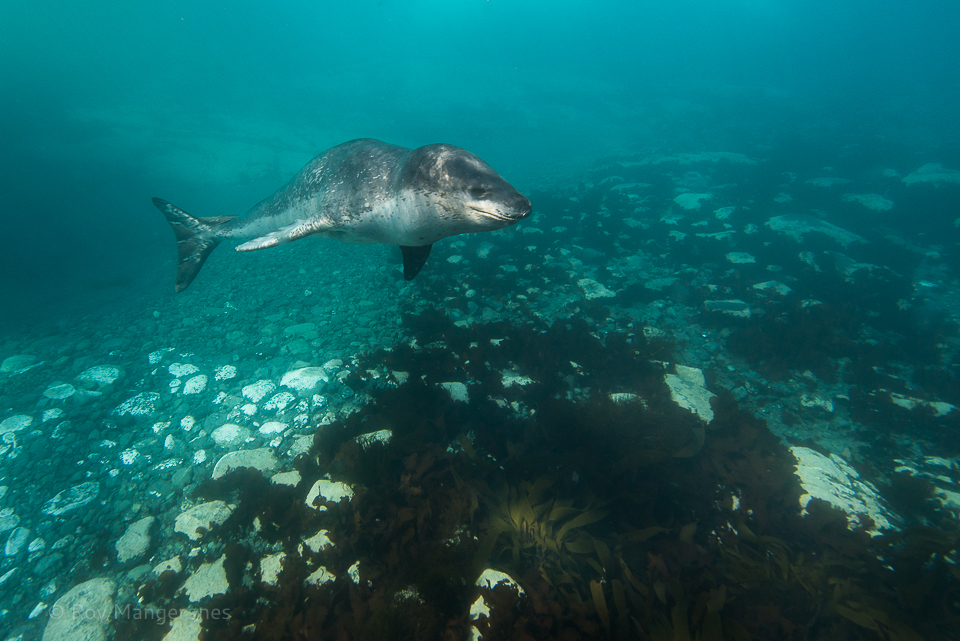 Leopard seal under water - D800, 16-35mm, 1/500 sec, f/8 @ ISO 450