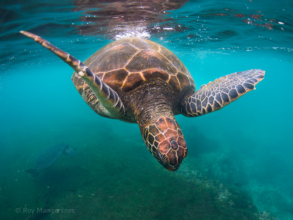 Green sea turtle - D800, 16mm fisheye, 1/250 sec, f/4 @ ISO 560
