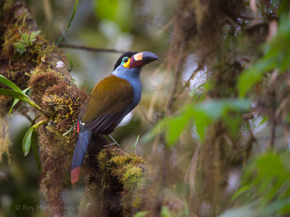 Plate-billed Mountain Toucan ia a Equadorian speciality - D4, 400mm + TC14, 1/800 sec, f/4 @ ISO 1250