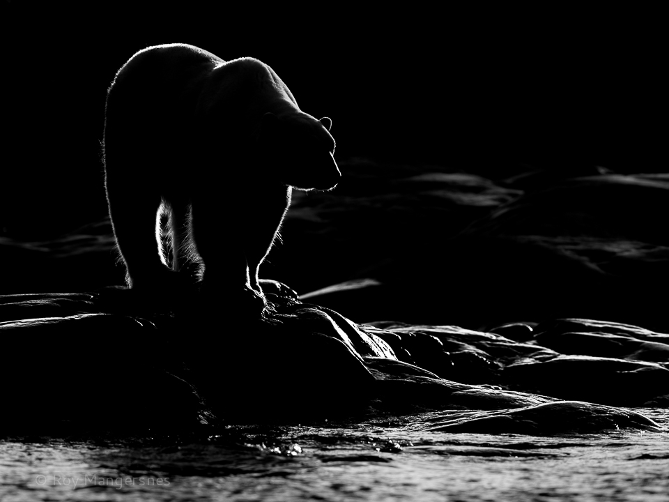 Backlit Polar bear on the the coastal rocks - D4, 300mm + TC-14, 1/2000 sec, f/5,6 @ ISO 500