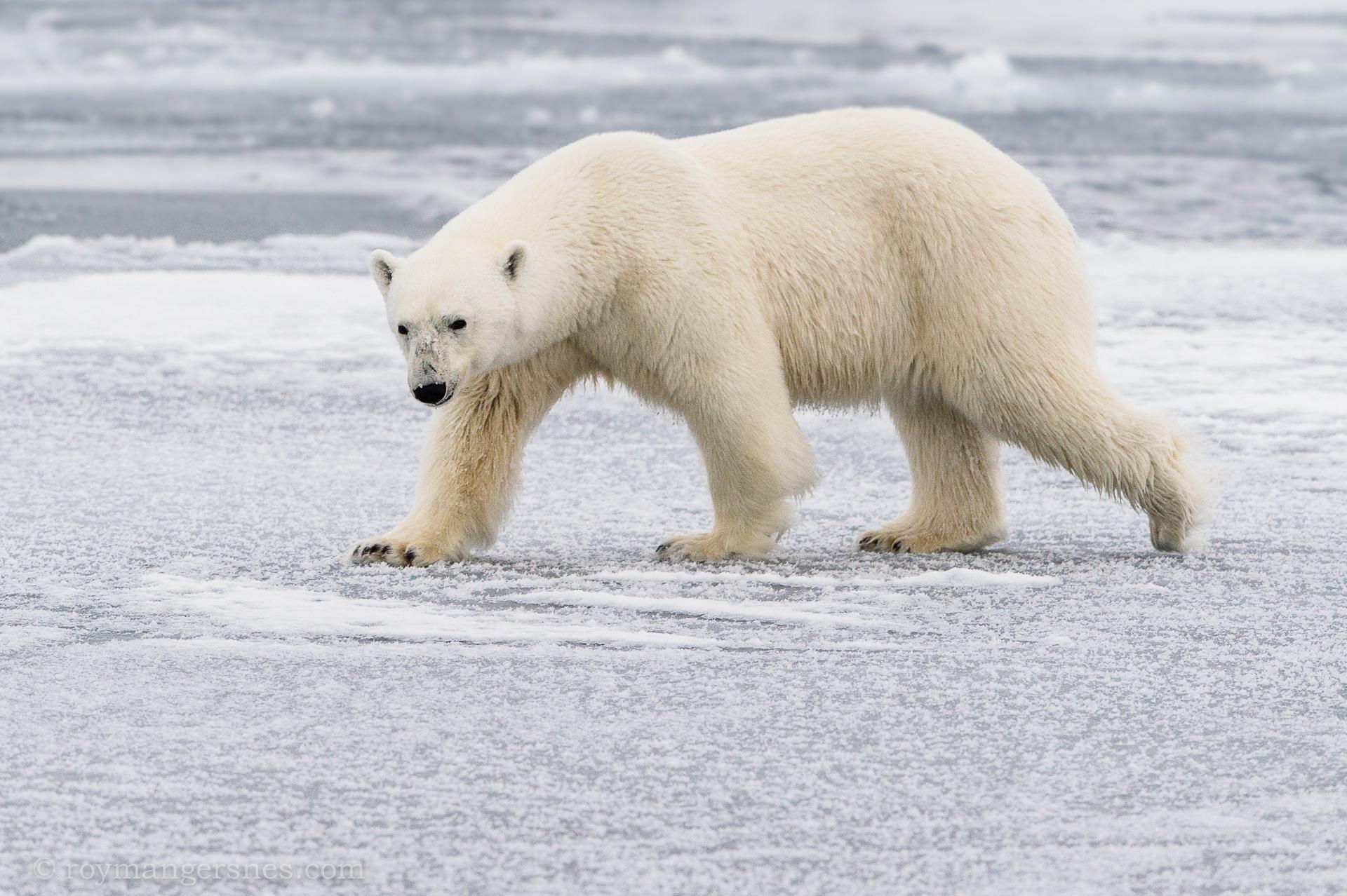 Polar bear Svalbard_winter2
