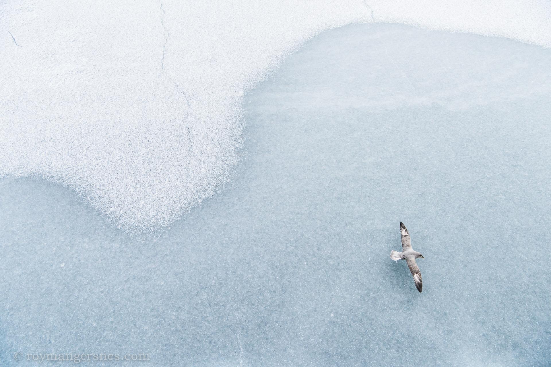 Svalbard Fulmar_Winter3
