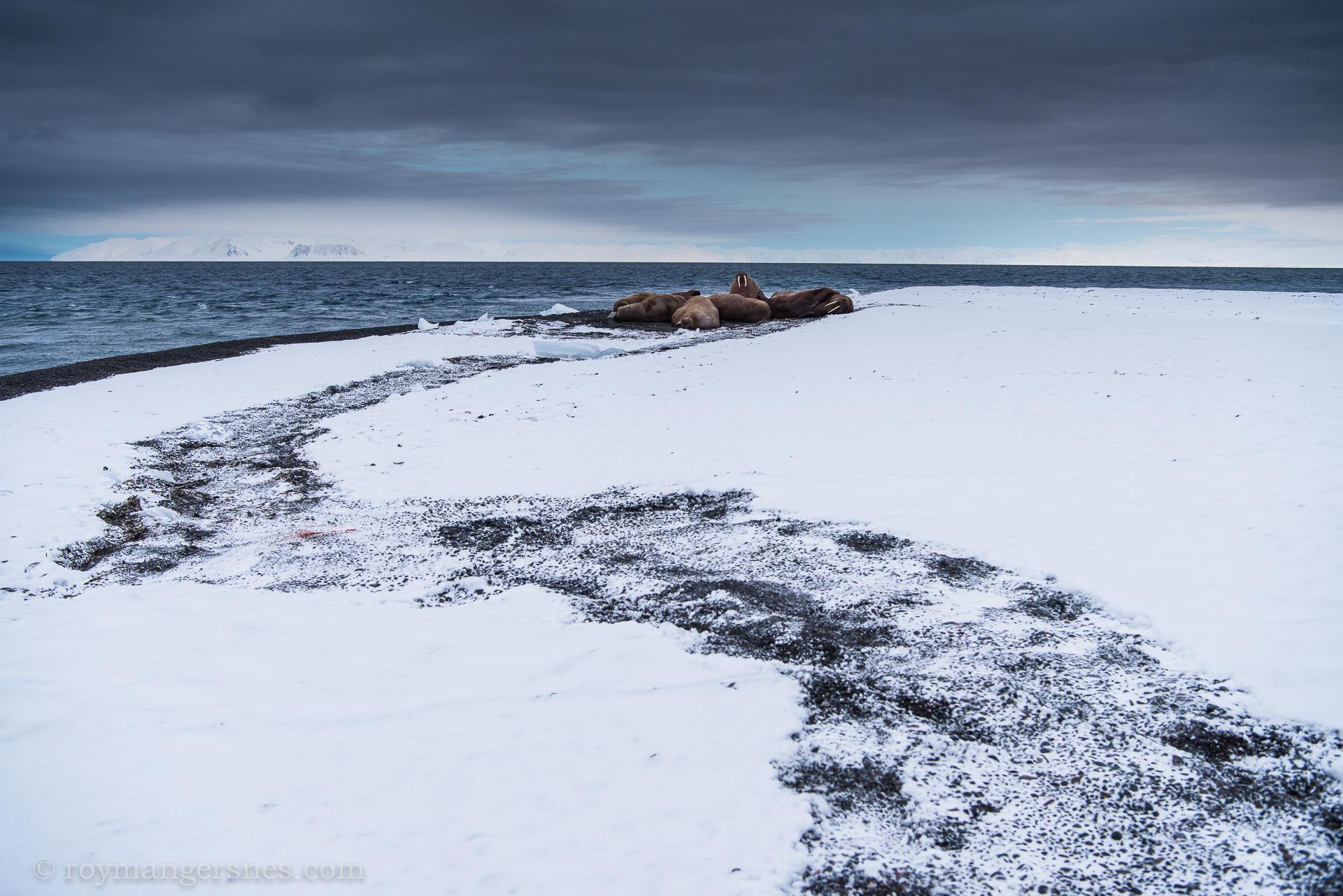 Svalbard Walrus_Winter2