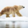 Trip report Svalbard 15.07-25.07 2020