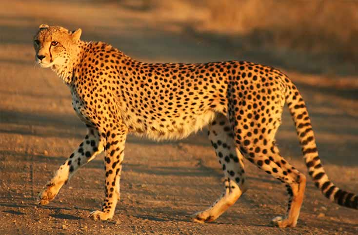Cheetah is one of the fastest animals in the world and fun to watch when running after its prey.
