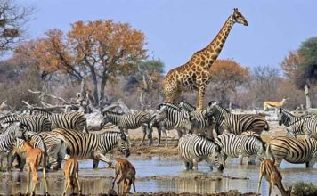 The wild African Animals are magnificent creatures. Thousands of tourists visit Africa every year to see them.