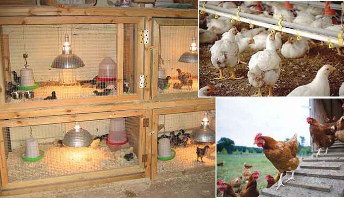 How to Start Poultry Farming Project