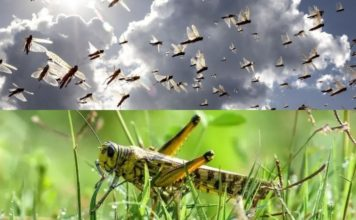 Locusts Attack in India and Pakistan