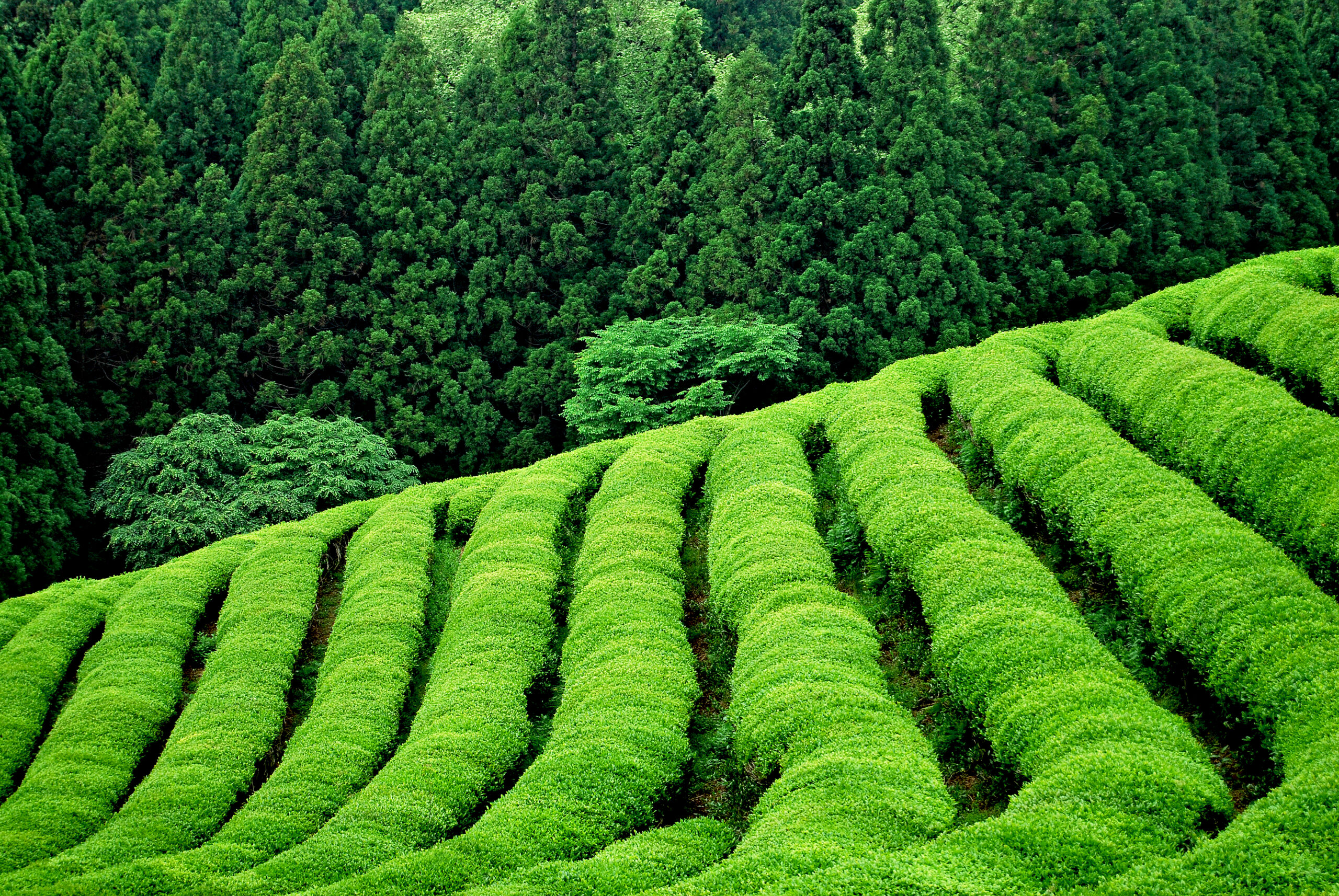Tea plantation in South East Asia