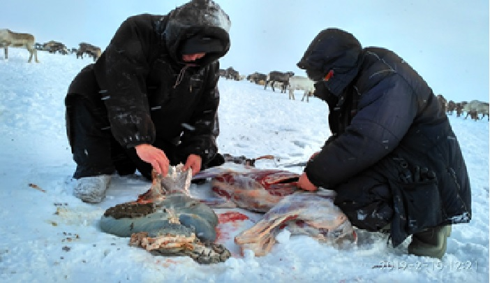 Photo to post d.d. 14.04.21 - Reindeers nutrition quality in ecological conditions of the Nenets Autonomous Area assessed by Russian scientists & EU experts