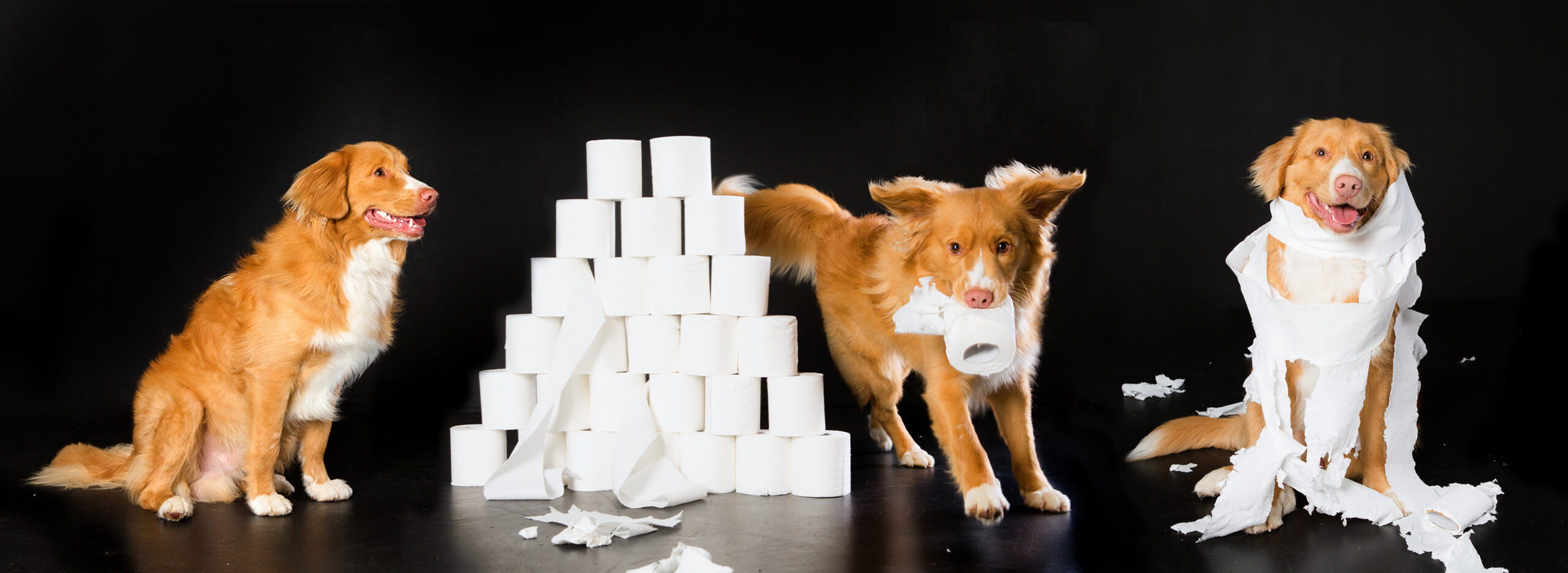 Dog playing with toilet paper on black background