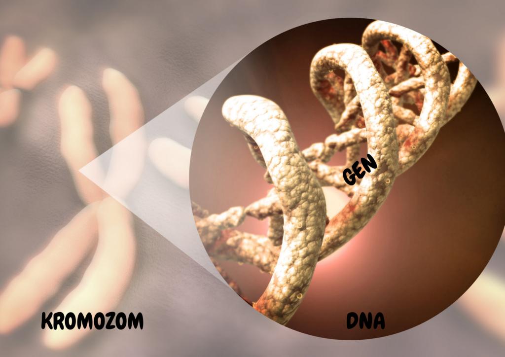 kromozom DNA gen