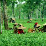 Tea Industry: In the Times of Climate Change