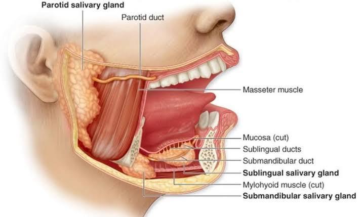 Digestive glands in human body