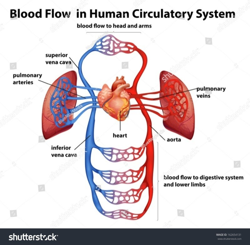 stock vector illustration of the blood flow in human circulatory system on a white background 162654131 2B 25281 2529 1