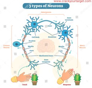 3 main types of neurons