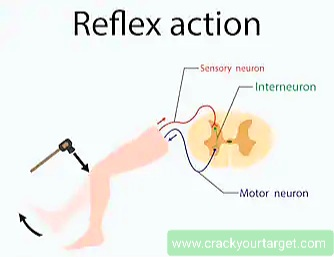 Reflex action diagram