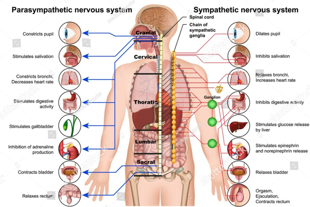 Parasympathetic and sympathetic nervous system