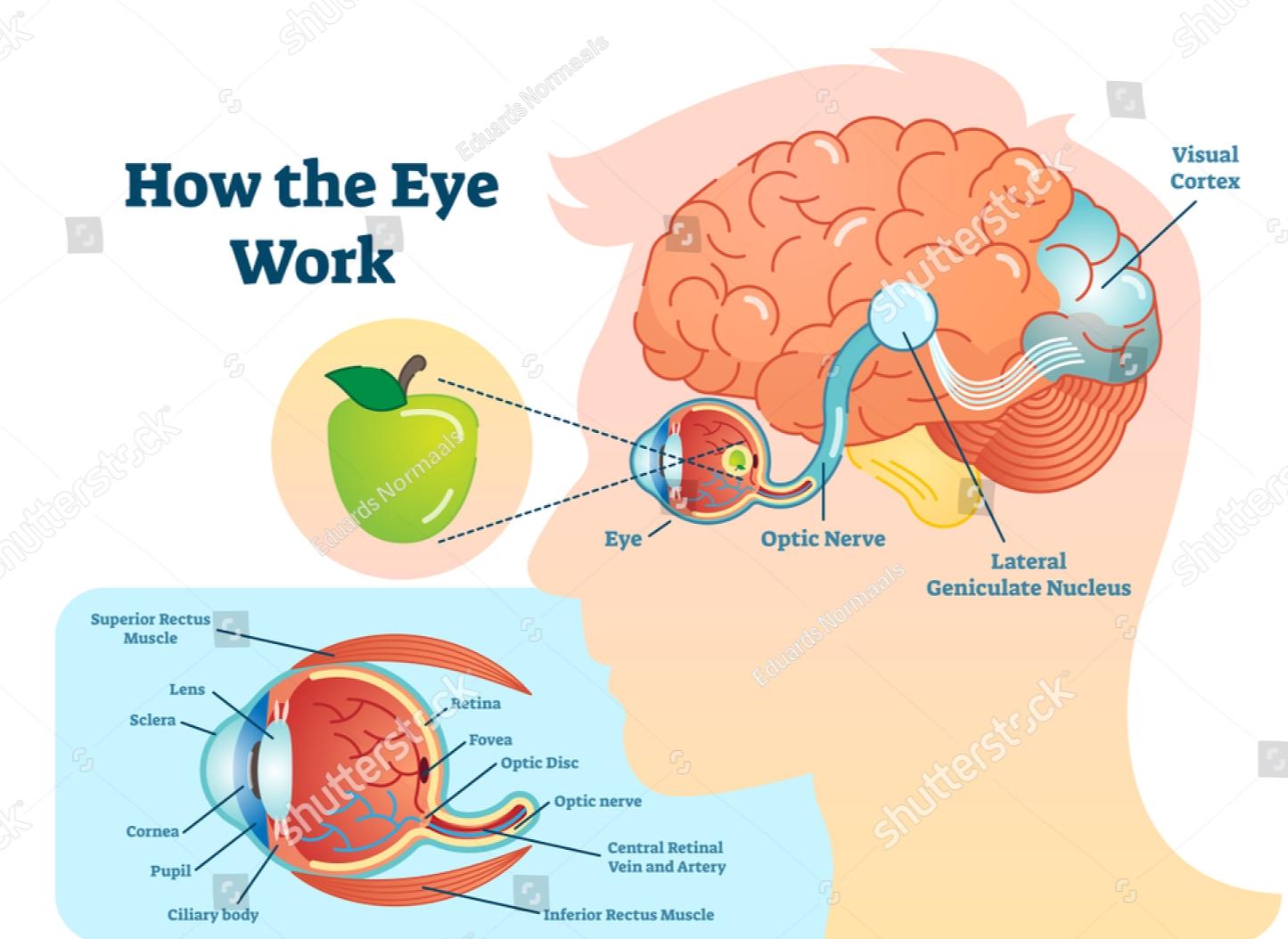 Working of eye