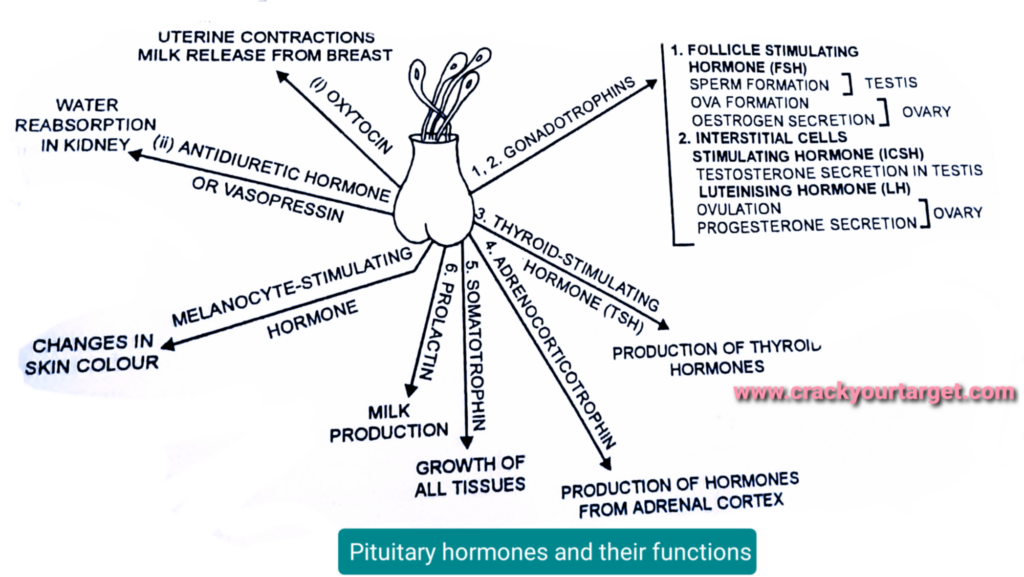 Pituitary hormones and their functions