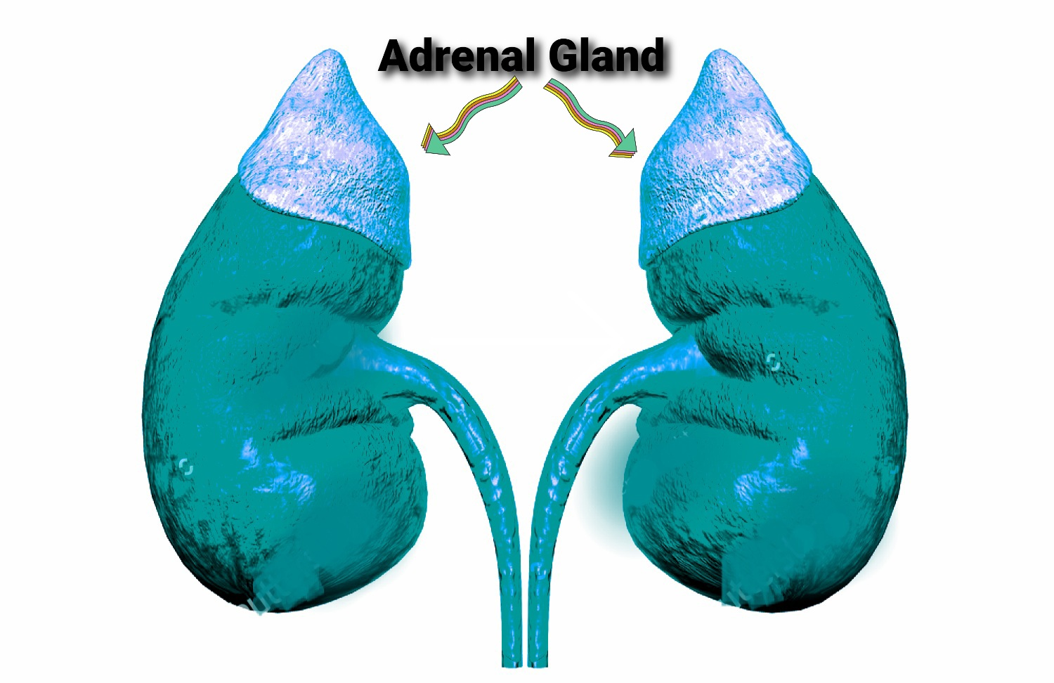 Adrenal gland diagram